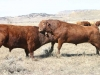 harding-land-and-cattle_056