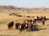 harding-land-and-cattle_105