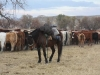 harding-land-and-cattle_106
