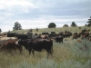 harding-land-and-cattle_115