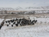 harding-land-and-cattle_124