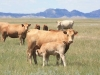 harding-land-and-cattle_128