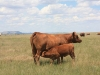 harding-land-and-cattle_129