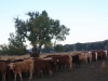 harding-land-and-cattle_137