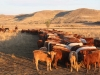 harding-land-and-cattle_139