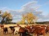 harding-land-and-cattle_141