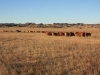 harding-land-and-cattle_143