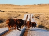 harding-land-and-cattle_156