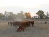 harding-land-and-cattle_183