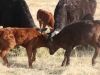 harding-land-and-cattle_028