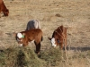 harding-land-and-cattle_029