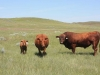harding-land-and-cattle_062