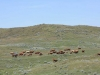 harding-land-and-cattle_064