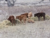 harding-land-and-cattle_086
