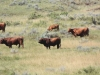 harding-land-and-cattle_093