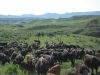 harding-land-and-cattle_110